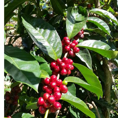Cerises de café arrivées à maturité sur un caféier au Panama dans la ferme de Gonzalo Batista alias Don Chalo